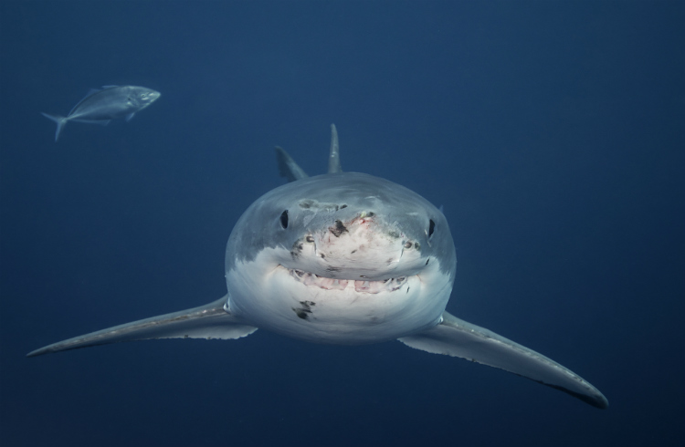 Sharks in Australia - Sifting Fact From Fiction