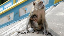 Are Monkeys Dangerous? Tips to Keep You Safe in Malaysia