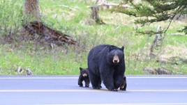 Bear Safety in the USA: 5 Tips for Travelers