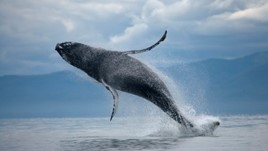 Behind the Wheel of an Alaskan Whale-Watching Boat