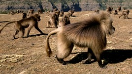 Trouble in Baboon Territory