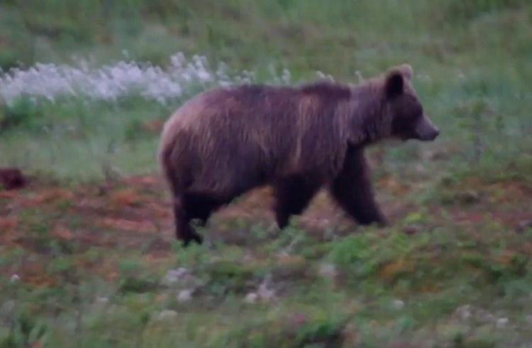 Sweden Discoveries: Bear Watching