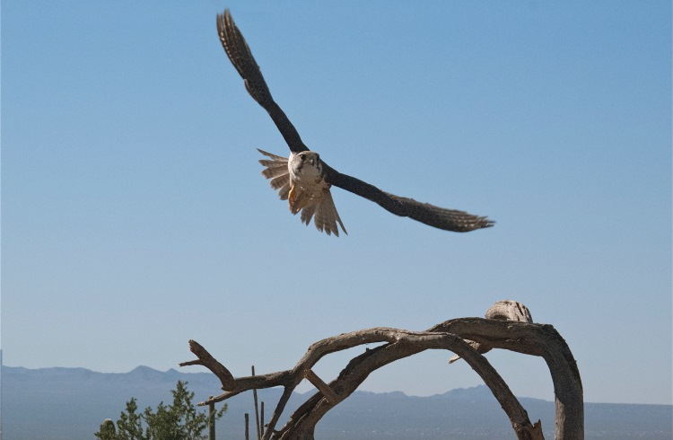 A raptor flies towards some prey during a raptor show at the Arizona-Sonora Desert Museum.