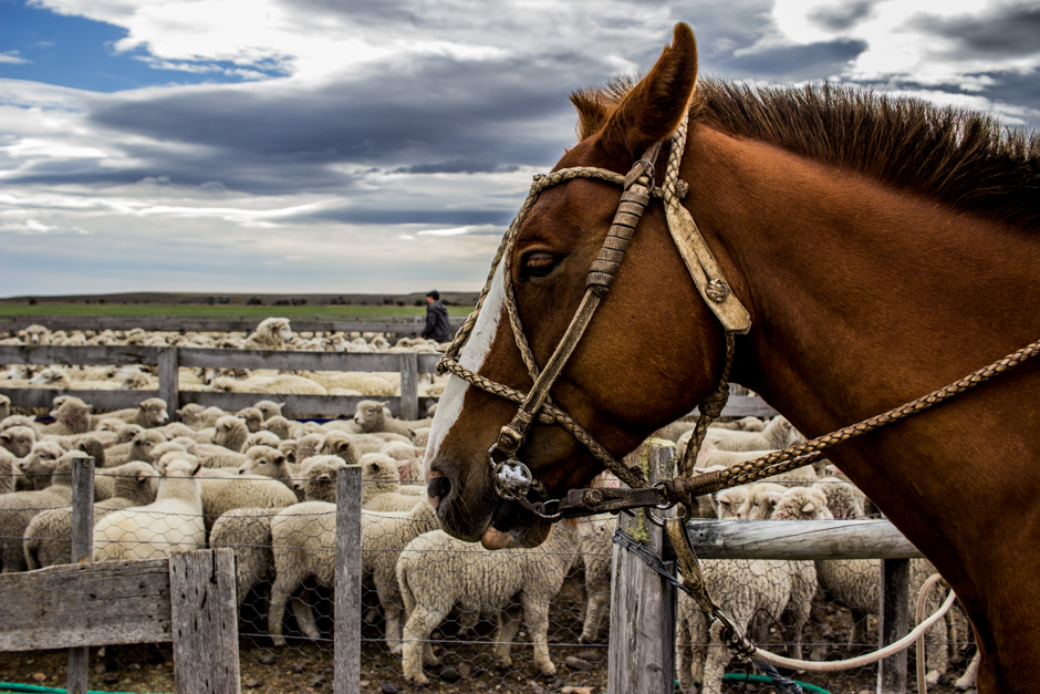 1. Beyond the Southern Fields of Ice, massive extensions of pampa hold foreign animals that have somewhat learned to call this place home. In this lands, were 6.5 foot men used to roam among their myths, Western man has engineered a market where it seemed impossible. Welcome to Southern Patagonia.