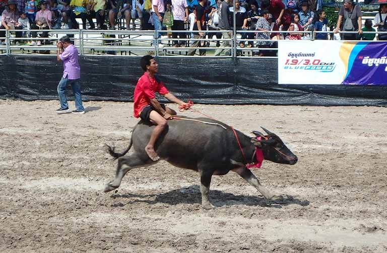 Water Buffalo Racing in Chonburi, Thailand