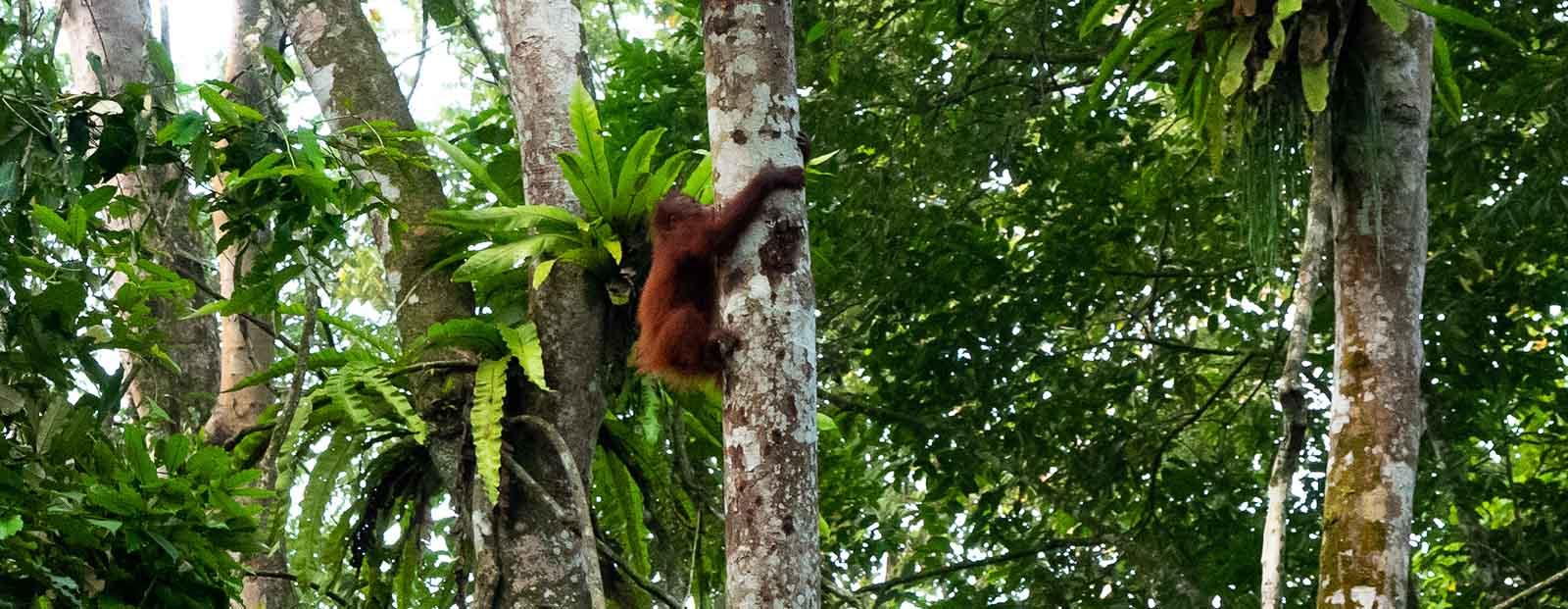 Cry of the Wild: Orangutan Encounters in Borneo