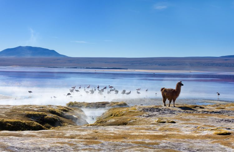 Llamas and Flamingos congregate by Laguna Colorada, Bolivia